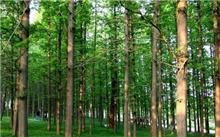 水杉Metasequoia glyptrobides Hu et Cheng