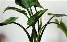 如何养护盆栽马蹄莲