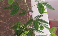含羞草栽培养护技术