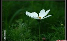 大波斯菊的繁殖管理