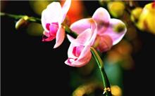 蝴蝶兰养护知识