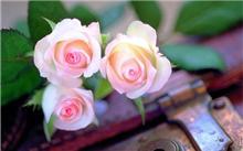 浪漫情人节 玫瑰花语