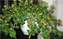 吊兰的养殖方法 吊兰图片(图)