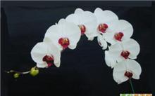 花中王后――蝴蝶兰