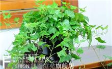 盆栽常春藤,最后的常春藤叶