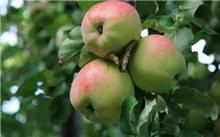 嘎拉苹果的整形修剪技术