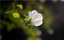木槿花的养护及管理