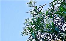 夹竹桃如何栽培呢 夹竹桃的栽培技术