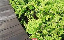 冬青树要如何栽植与管理