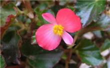 四季海棠栽培技术指南