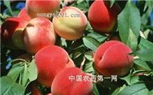 温室早熟桃的栽培技术
