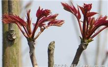 香椿嫩芽的促成栽培法