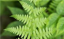 花草手册―观形类之含羞草
