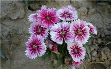 常夏石竹  [石竹科] [石竹] Dianthus plumarius