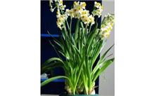水仙花常见品种
