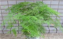 文竹的养殖方法|文竹图片(图)