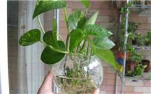 家庭水培植物