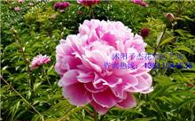 花卉传说-芍药