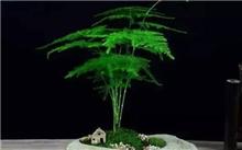 制作文竹盆景时取材和养护