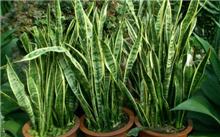 虎尾兰的繁殖
