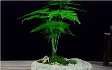文竹盆景制作和养护
