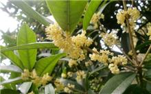 怎样繁殖桂花树
