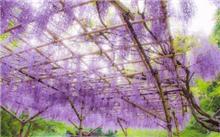 紫藤繁殖法