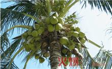 夏威夷椰子繁殖栽培技术及应用