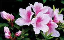 杜鹃花花期和花后管理