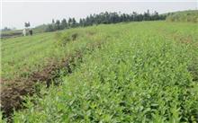 桔梗高产栽培种植技术