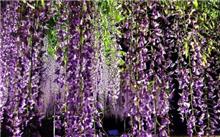 紫藤的养护管理