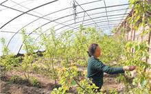 杏树施肥技术