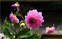 盆栽大丽花