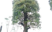 香樟树移植要点