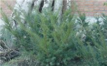 红豆杉的繁殖技术