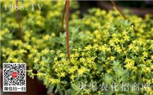垂盆草的栽培(图)