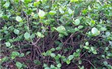 茉莉花的养殖方法,茉莉花的养护管理及病虫害防治-苗木