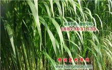 生草品种的筛选