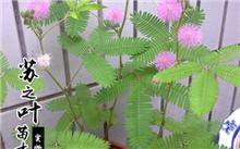 室内花卉养殖之含羞草