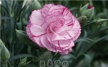康乃馨花语与传说