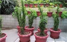 红豆杉栽培技术