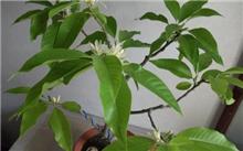 北方盆栽白兰 注意剪枝