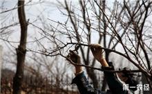 桃树如何修剪和桃树修剪技术