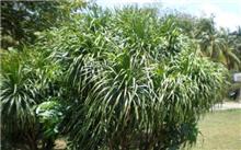 龙血树的繁殖与栽培技术