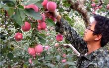 中熟苹果树管理要点