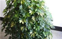 室内观叶新品种----鸭脚木