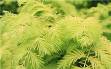金叶水杉的繁殖方法