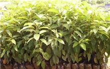 香樟树育苗技巧