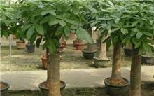 冬季如何养好发财树