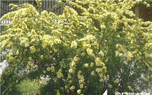 迎春花插繁殖技术